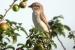 pie-grieche-ecorcheur-femelle