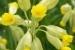 fleur-de-coucou